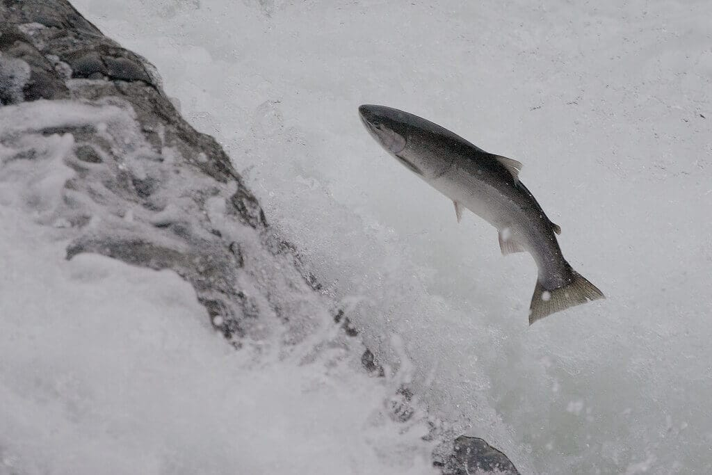 Jumping Steelhead